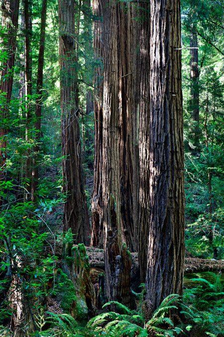 tree-sequoia